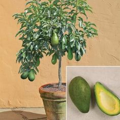How to grow avocado in a pot..