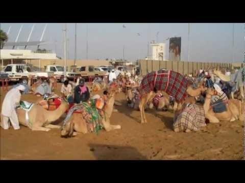 Camel Racing in Dubai United Arab Emirates - with Robot Jockeys!