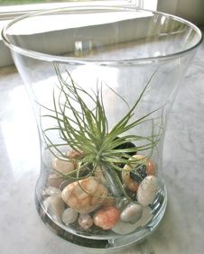 Air plant - NO dirt! You know what I'm thinking.