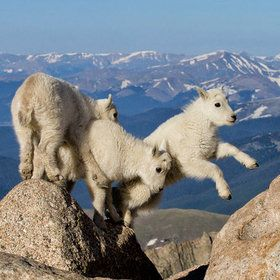3 little baby mountain goats~how cute are they? Oh my gosh, don't fall!