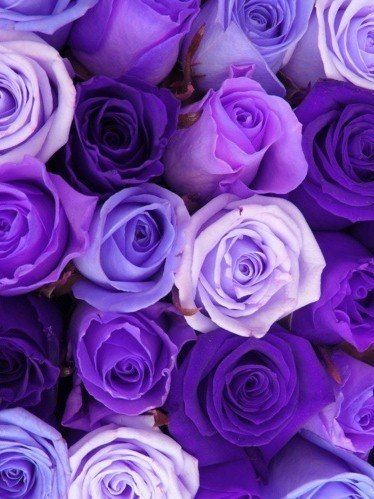 Purple roses very beautiful
