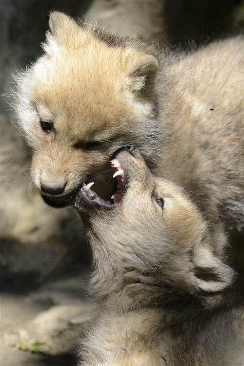 Two 2-month-old baby Arctic wolves play