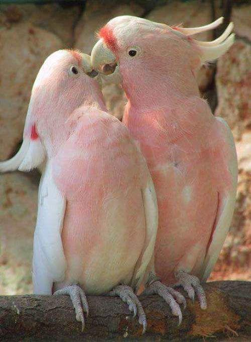 Imagen lindas aves besandose enamoradas