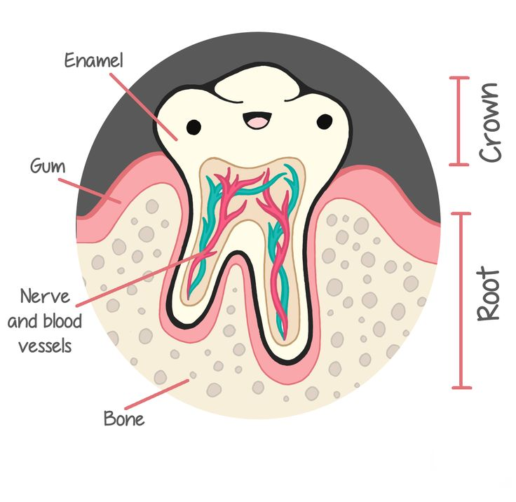What parts make up the structure of a tooth? The structure of a tooth consists of four main parts: - enamel - dentin - pulp - cementum