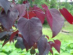 L' arbre de Judée (Cercis siliquastrum) fleurit en avril mai. Les fleurs sont de couleur rose pourpre. Arbol de Judas o del amor. Hojas verdes, luego salen las flores rosas y las hojas se hacen moradas Se encuentra normalmente en pendientes áridas a lo largo de las riberas de los ríos, preferentemente en terrenos calcáreos, pero puede tolerar los moderadamente ácidos. Resiste el frío, hasta -10 °C pero no las heladas prolongadas. Es resistente a la sequía y no tolera el encharcamiento del…
