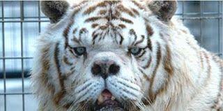 Allevamenti illegali: ecco un video choc di una tigre col muso di cane
