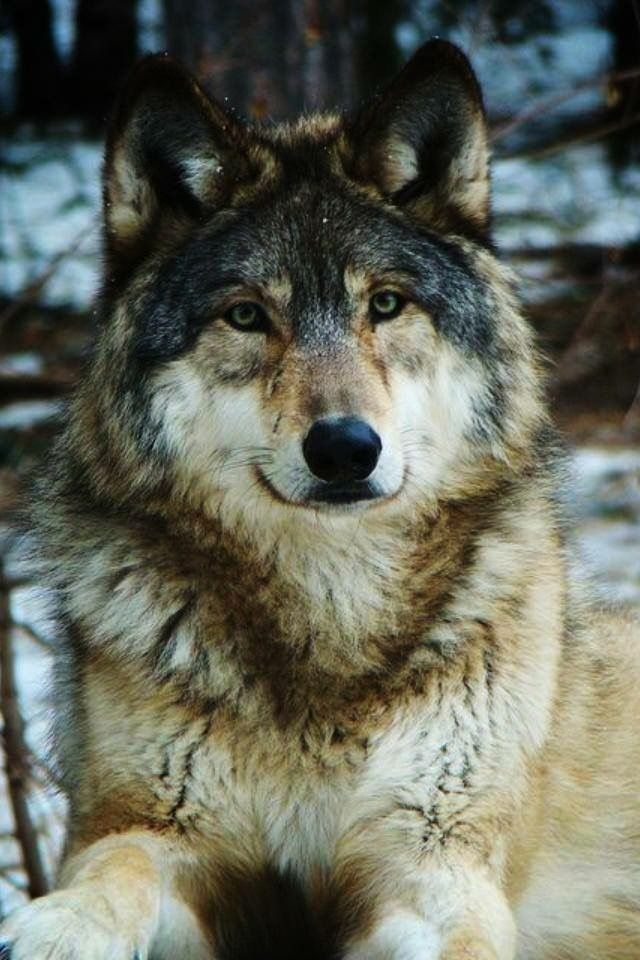 Just look at that beauty of the wolf!