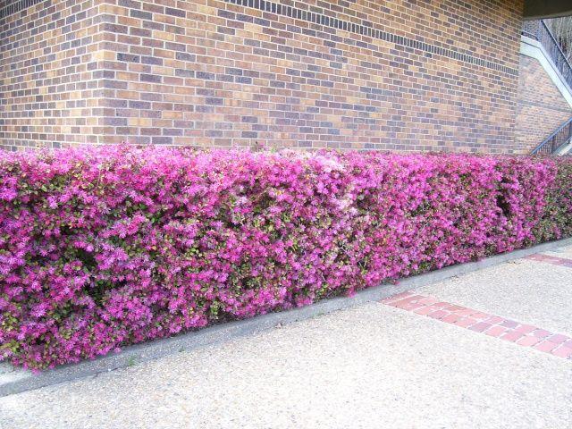 Pretty Flowering Bushes