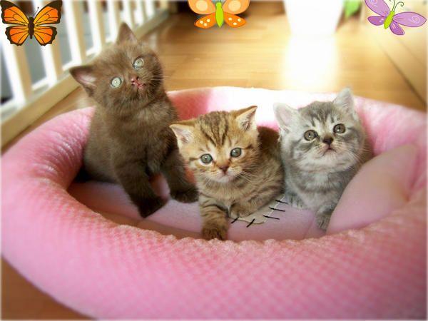 Katzen - Britisch Kurzhaar Mädchen Kitten mit Papier BKH