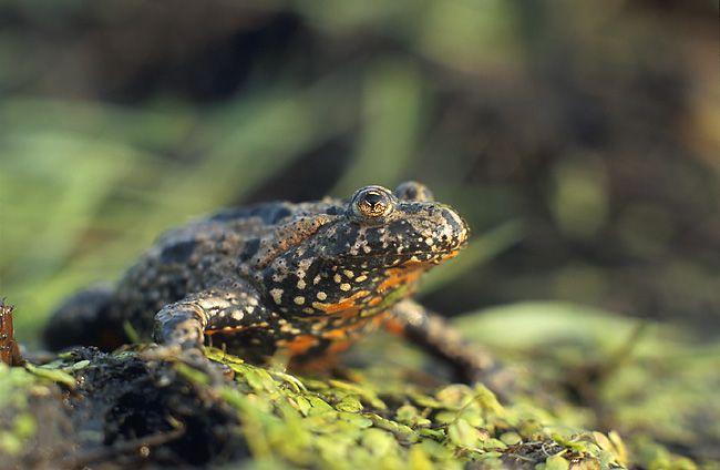 European fire-bellied toad. Bombina bombina by Marek Szczepanek.