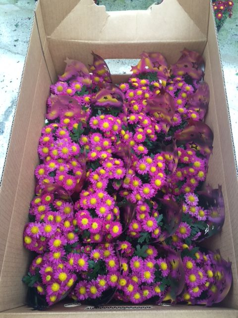 Mothers day Chrysanthemum Living Bouquets about to be shipped out! try your local garden centre for some lovely Chrysanthemums this Mothers day 2015