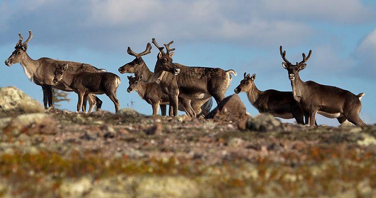Taimyr region, Russia. Photographer Vitaly Gorshkov #deers #Taimyr  #anabar #arcticphoto