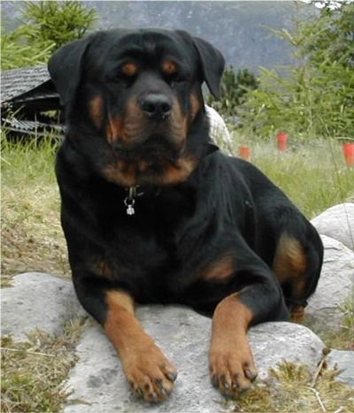 Rottweiler, my dream dog.