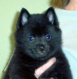 schipperke puppy i want one of these smart little dogs