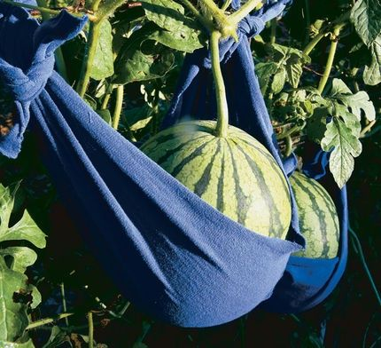 Once the plants set fruit, support the burgeoning melons with slings, which can be made with cheesecloth, nylon stockings, or old T-shirts. If the sling completely covers the fruit, it provides protection from insects. In addition to saving space, trellising improves air circulation and helps prevent disease.