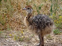 Just to cute for words!! A baby #ostrich #chick