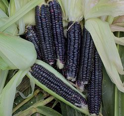 """Corn, Black Aztec...(Zea mays) Delicious heirloom corn said to have been grown by the Aztecs 2,000 years ago. Introduced to the seed trade by James J. H. Gregory in the 1860s. Vigorous 6' plants produce 8"" ears with kernels that are white at milk stage and turn jet black when mature. Makes an excellent blue cornmeal."""