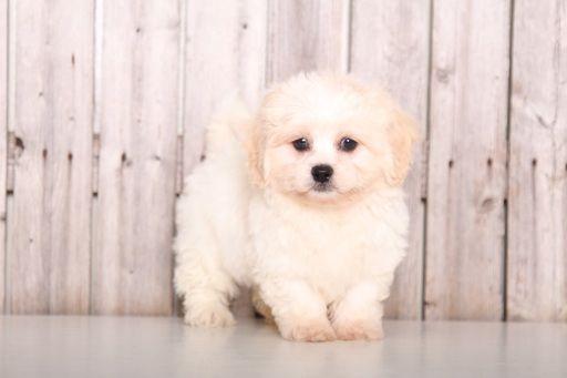 Zuchon puppy for sale in MOUNT VERNON, OH. ADN-59668 on PuppyFinder.com Gender: Female. Age: 10 Weeks Old