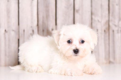 Zuchon puppy for sale in MOUNT VERNON, OH. ADN-32487 on PuppyFinder.com Gender: Male. Age: 8 Weeks Old