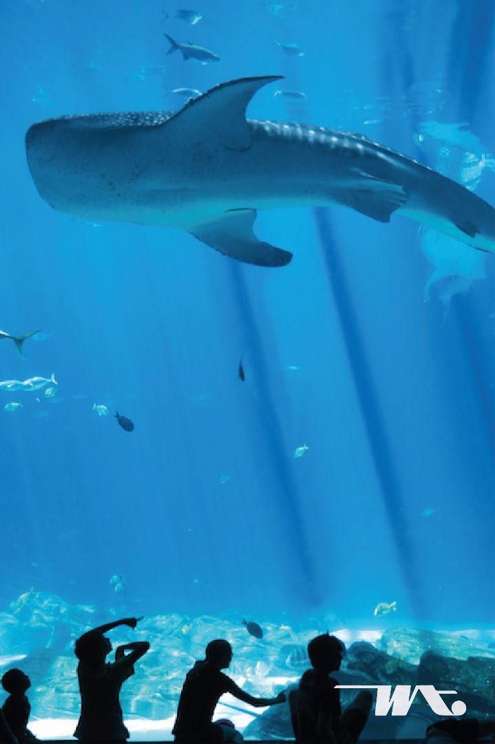 Melihat dari dekat kehidupan di dalam laut, berani? Di Okinawa Churaumi Aquarium Anda bisa berfoto dengan para penghuni bawah laut, bahkan hiu sekalipun. Walaupun Jepang memiliki banyak akuarium menarik, tetapi  Okinawa Churaumi Aquarium di percaya sebagai akuarium terbaik dengan terowongan raksasanya yang terbuat dari kaca besar sehingga Anda akan merasa seperti benar-benar berada di dalam air. Kolam outdoor nya pun menghadirkan pertunjukkan hewan laut seperti lumba-lumba dan singa laut.