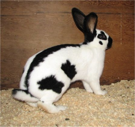 The CHECKERED GIANT RABBIT (called the Giant Papillon in the UK) is one of only 11 rabbit breeds that have defined markings.  For Checkered Giant show rabbits, the standard calls for two large patches of color on either side of the hindquarters. Any spot on the shoulder is a disqualification. The Checker should have a straight line of color down its spine. The minimum weight is 11 pounds, but there is no maximum weight.  Not all checkered giants have the 'show rabbit' markings.