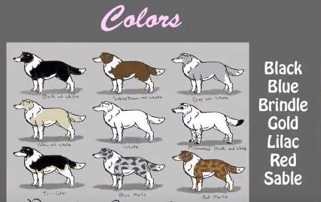 Short And Simple Video Guide To Border Collies Bordercollie