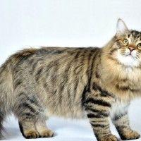 Razze Feline: il Gatto Siberiano