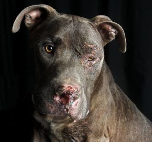 -RIP LOVE - I'M SO VERY SORRY! - Pet Rescue Report Dog adopted from animal control, returned injured