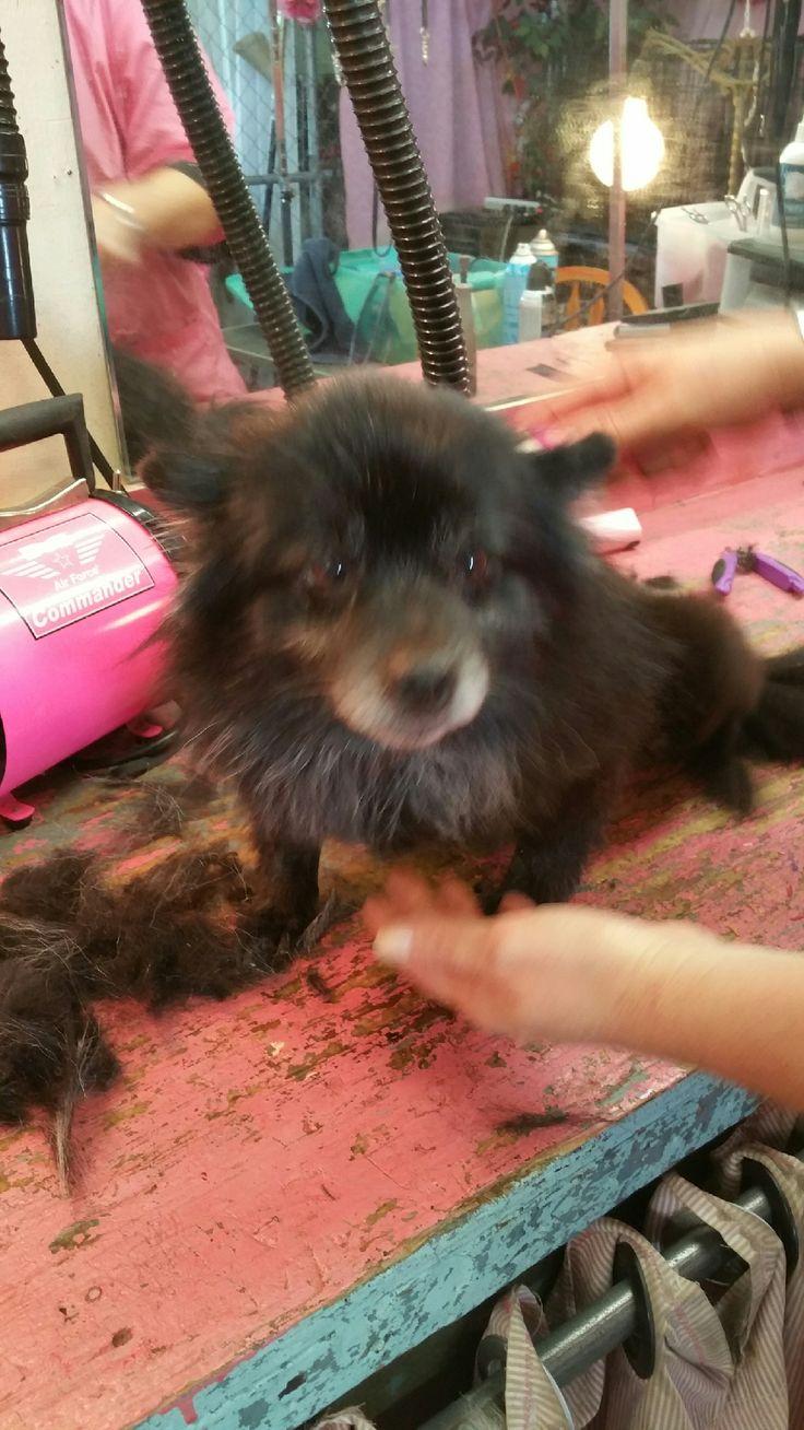 Pomeranian dog for Adoption in Garland, TX. ADN-668988 on PuppyFinder.com Gender: Female. Age: Adult