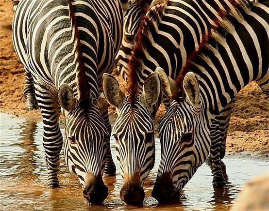 zebras animal africa madagascar pinterest zebras. Black Bedroom Furniture Sets. Home Design Ideas
