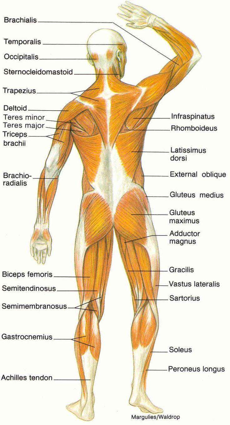 The Muscular System Labeled Human Anatomy Drawing Muscular