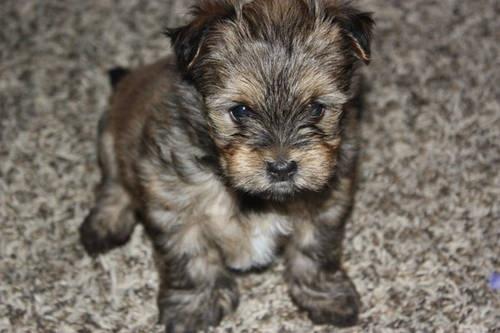 Cute Pomeranian Yorkie Mix Puppies 8 Weeks Old Dog