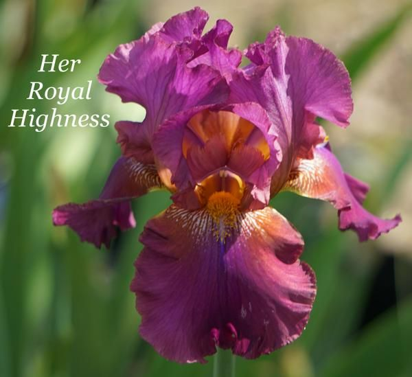 Rebloomer Her Royal Highness 001 Royal Plants Iris