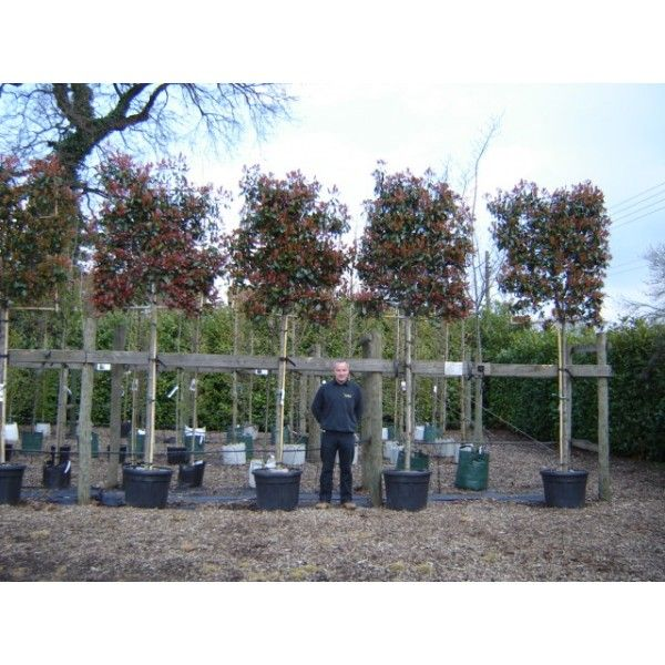 Photinia x Fraseri Red Robin Standard Tree