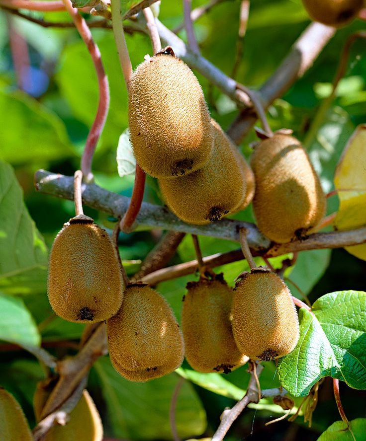 Actinidia deliciosa 'Jenny' Kiwi - Is self-pollinating and will bear full fruit. So you have no extra male and female plants in order to enjoy the delicious kiwi. This strong breed is also nice to see!