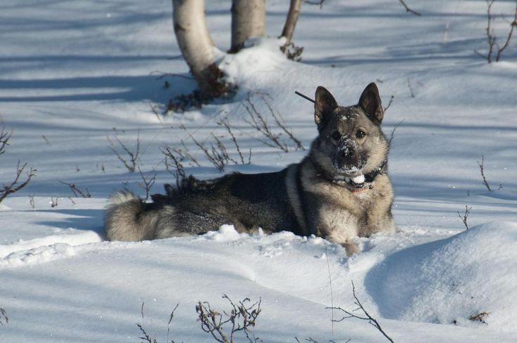 snow pal. #elkhound #elghund