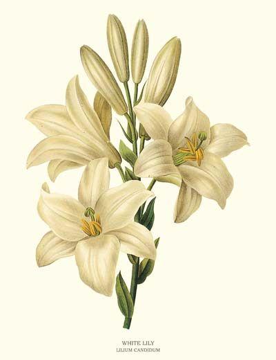 Valge liilia.White Lilly - Lilium candidum