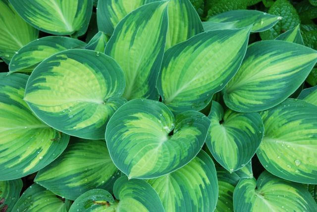 hosta 'june' - I have a few of these; each leaf looks like it is hand-painted - lovely!