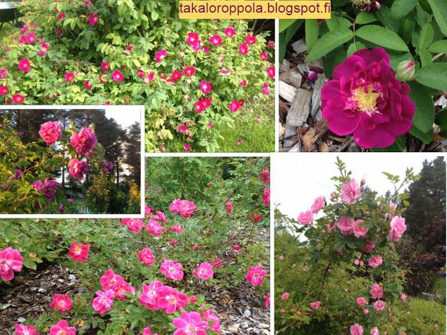 Takalo-Roppolan puutarha- ja mansikkatila: RUUSUT-red roses