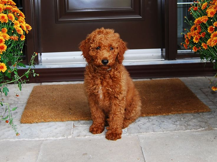 522 best Poodle Crossbreeds images on Pinterest | Golden ...