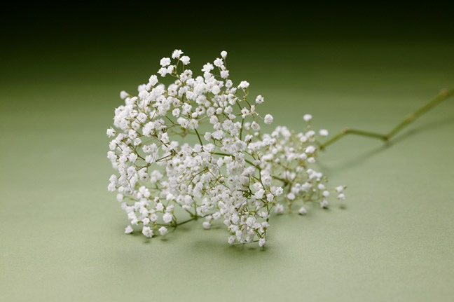 million star flowers similar to babys breath but more