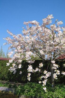 Prunus serrulata 'Shogetsu' - Japanse kers