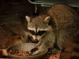Image result for raccoon hands