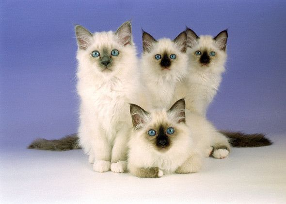 Four Birman kittens