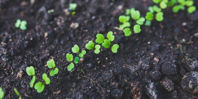 Faire des semis est sans doute la plus facile des techniques de multiplication...si on parle des radis ! En effet, le semis de radis roses fait...