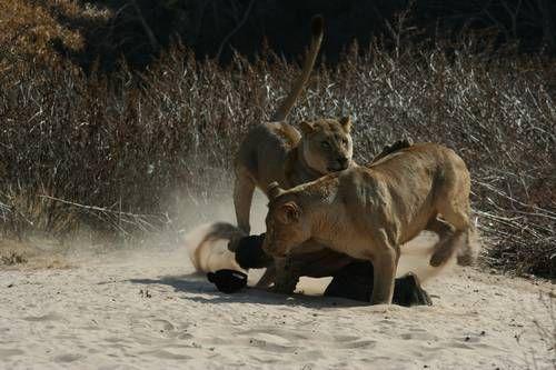 Кевин Ричардсон в центре игры львиц. Фото
