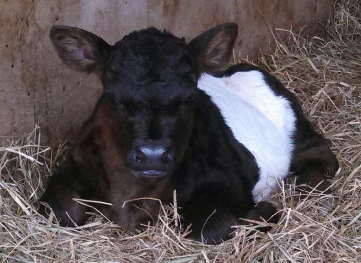 Miniature Cows For Sale | Miniature Bulls For Sale | Lovable Little Ones, Loveland, CO