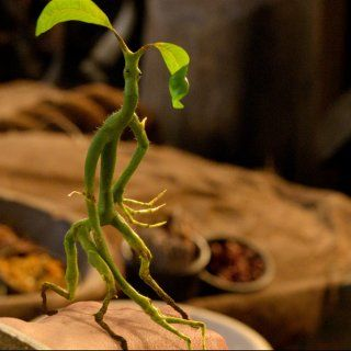 The Bowtruckle, A small twig-like creature that guards wand-wood trees.