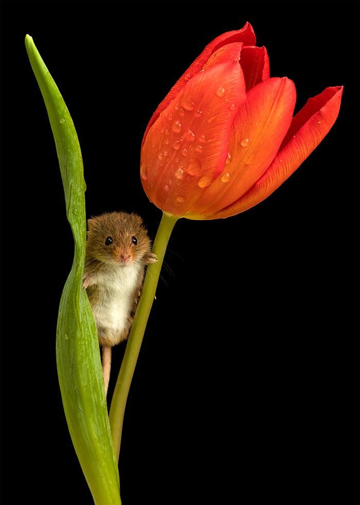 a3c58d37cb0 Photographer Tiptoes Through The Tulips To Shoot Harvest Mice, And The  Result Will Make Your Day | Bored Panda