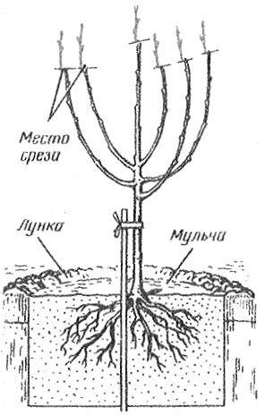 Размножение и посадка вишни и сливы | Дача - впрок